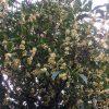 香りのタイムマシン 金木犀(キンモクセイ)