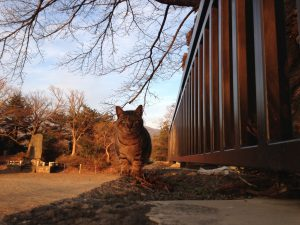 神社に住みついている猫