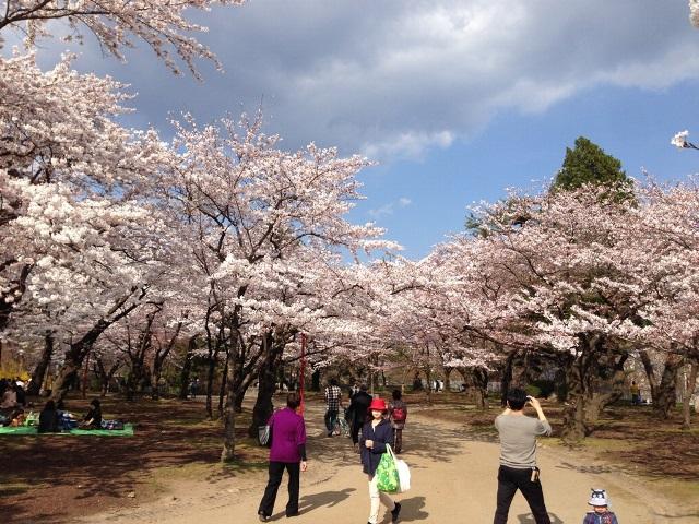 盛岡城址の桜