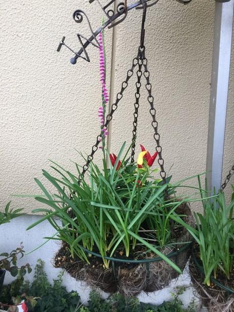 ネジバナの花