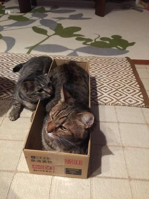 箱の中に入る猫