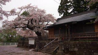 鷲神社の桜(福島県福島市)