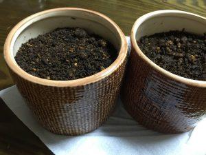 鉢に植えた猫草