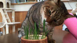 猫の食害対策 猫草栽培