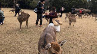 早春の鹿寄せ(奈良市)